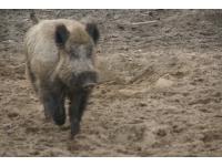 Od dzika do świni domowej