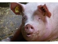 Zmysły u świń i ich rola w procesach poznawczych