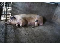 Wpływ pory roku, długości dnia świetlnego i temperatury na użytkowość rozpłodową świń