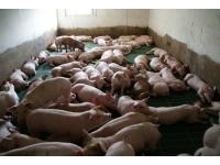 Wymagania obowiązujące  dla wszystkich grup wiekowych świń