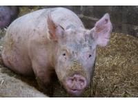 Zgłoszenie świń do ARiMR
