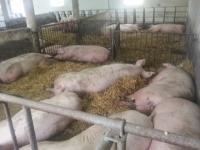 Najtańsza metoda zabezpieczenia stada przed zachorowaniami - bioasekuracja